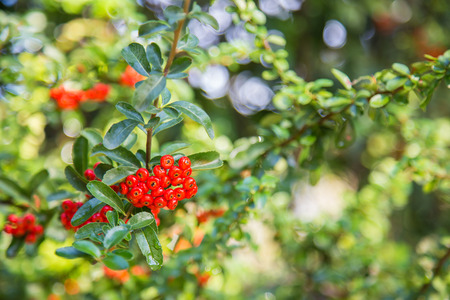 shrubbery: Close-up of Red Cratecus berries. Pyracantha coccinea.