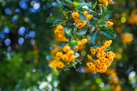 Close-up of yellow Cratecus berries. Pyracantha coccinea.