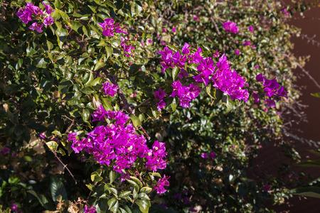 Bougainvillea bloomed in January in Riomaggiore in Cinque Terre in Liguria, Italy.