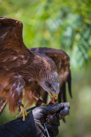 Milvus milvus - Real kite while eating a chick laid on the falconers glove.