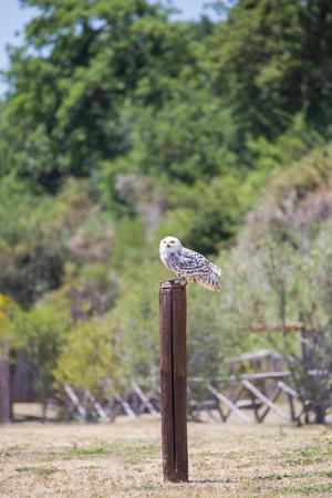 Nyctea scandiaca-Bubo scandiacus-Snow white owl over a wooden pole. Stock Photo