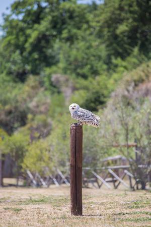 Nyctea scandiaca-Bubo scandiacus-Snow white owl over a wooden pole. Stock fotó