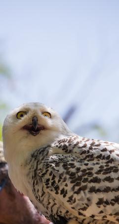 Nyctea scandiaca-Bubo scandiacus-Snow white owl.Front view.