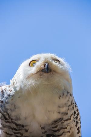 Nyctea scandiaca-Bubo scandiacus-Snow white owl.Bird of prey. Stock fotó