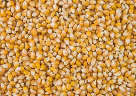 トウモロコシは、密接に見られるポップコーンを作る。 写真素材 - 87395735