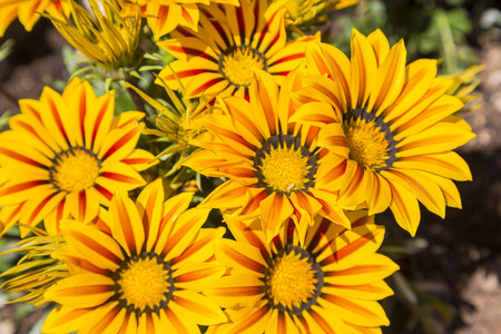 Flowers of yellow Gazania viewed from above and close up. Stock Photo