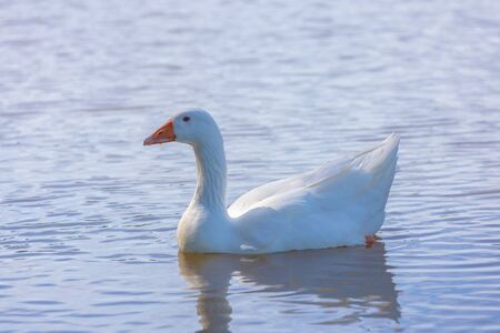 Solitary goose swimming in the water of a pond