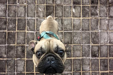 中国のカレンダー上の犬の新年のシンボルかわいいパグクローズアップ木製舗装道路に対してクローズアップ 写真素材 - 94589978