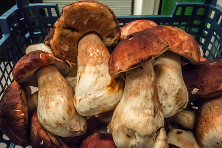 Mushrooms in a plastic basket. Forest gifts. Porcini mushrooms. White mushrooms