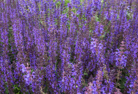 Decorative floral violet background from a blooming Nepeta cataria catnip, catswort, catmint flowers. Beautiful nature pattern.