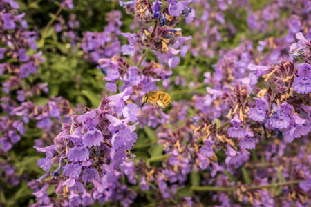 Blooming violet flowers plant in garden. Field of honey flowers and bees. Flower decorative purple and blue background with bee closeup. European insect nature.