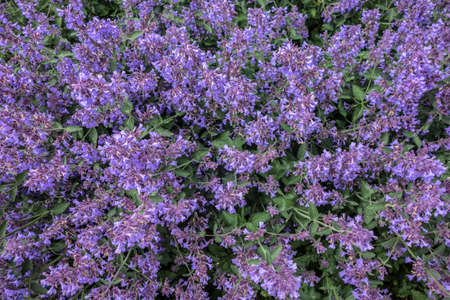 Decorative floral violet background from a blooming Nepeta cataria catnip, catswort, catmint flowers.