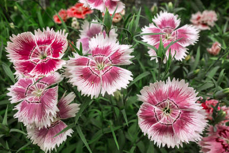 Carnation flowers, very beautiful floral background. Carnations grow wild in nature.