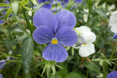 Beautiful pansy blue viola flower close up, floral background