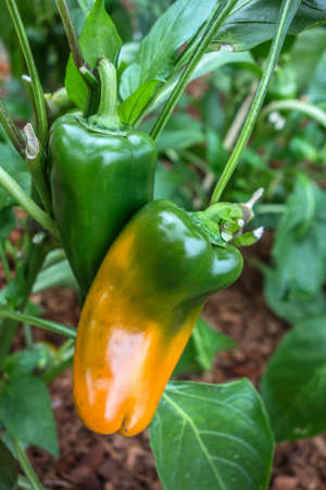 Pepper bushes with ripening yellow-green fruits close-up. Abundant harvest of sweet peppers in agriculture. Bulgarian or sweet pepper plant.