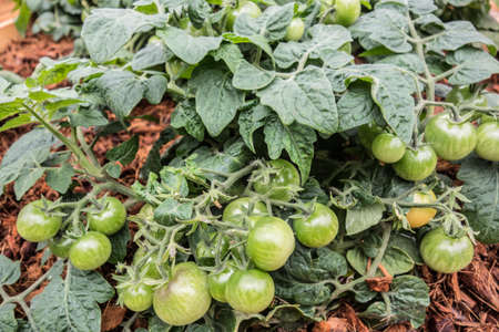Tomato bushes with ripening green fruits on mulched soil close-up. Abundant harvest of tomatoes in agriculture.