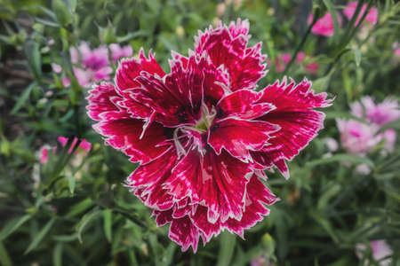 Carnation beautiful red flower closeup floral background. Carnations grow wild in nature.