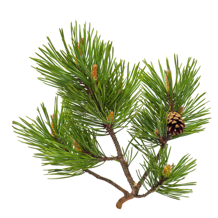 Pine branch with cone isolated on white Stockfoto