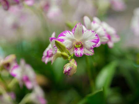 Closeup of Dendrobium Orchid Flower