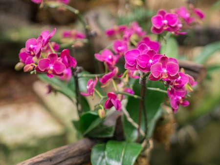 phalaenopsis: Closeup of Mini Phalaenopsis Orchid Flower