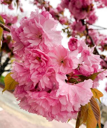 Close up pink Japanis cherry tree with drops of morning dew. Spring blooming flowers of Prunus serrulata or Sakura