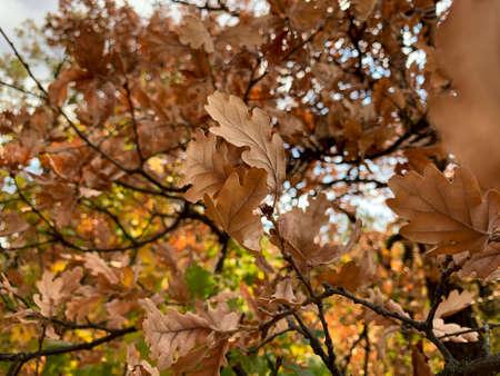 Close up brown oak leaves on oak tree branch  in early autumn