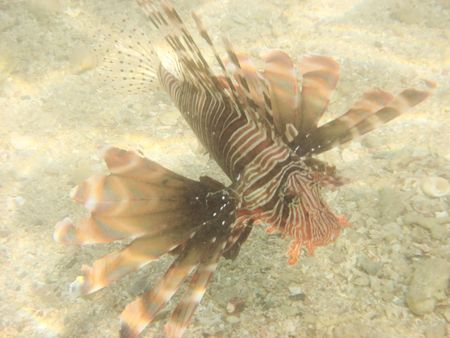firefish:    firefish in the red sea