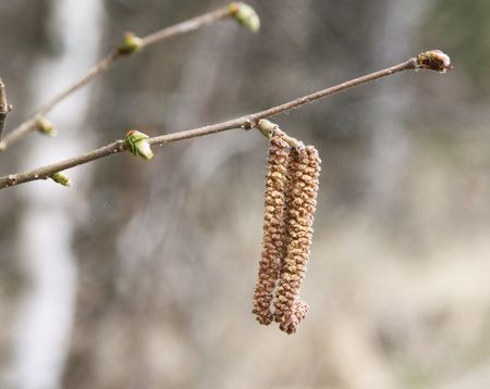 botanica: birky catkins on a tree branch in forest