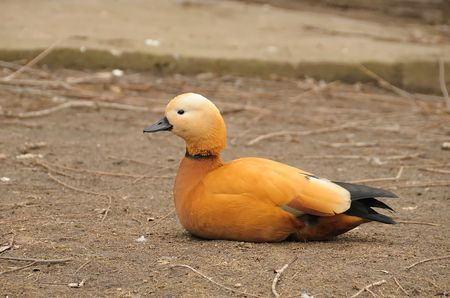 ruddy shelduck in zoo Stock Photo - 2746499