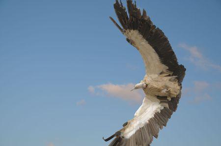griffon: griffon vulture in flying