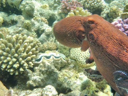 animal pouch: octopus in the red sea Stock Photo