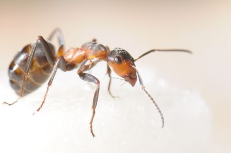 pismire: Red-haired wood ant and sugar piece. Macro