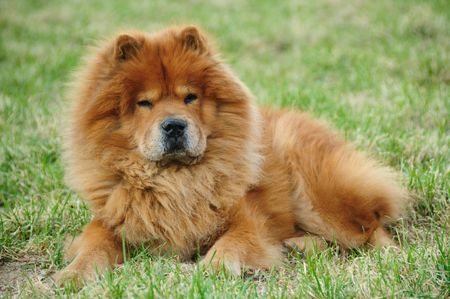 chow:  red chow On a green grass Stock Photo