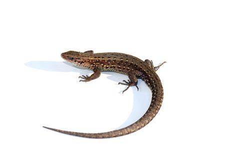 vivipara: common lizard ( Lacerta vivipara  )isolated on white background .