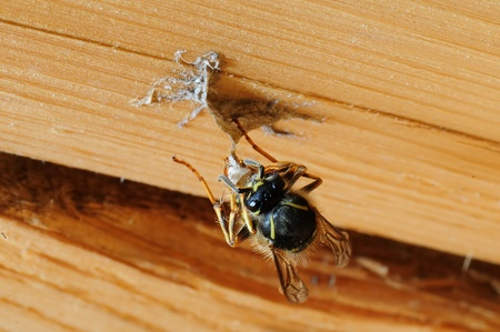 wasp building nest Stock Photo - 12899207