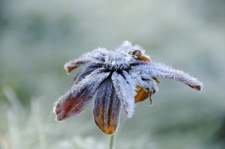 A frozen flower covered with frost. Stock Photo