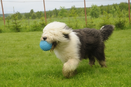 The old English Sheepdog playing with a ball on the lawn.