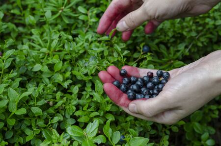 Woman holding in hands fresh blueberries on the bilberry bush background Banque d'images - 129826649