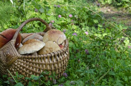 Beautiful wooden woven basket full of mushrooms