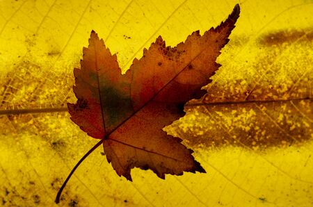 Close up of colorful autumnal maple leaf