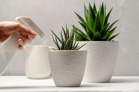 Closeup of womans hand spraying water on succulent.
