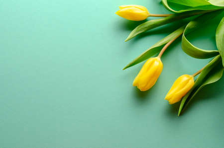 Background with yellow tulips on turquoise background. Place for text
