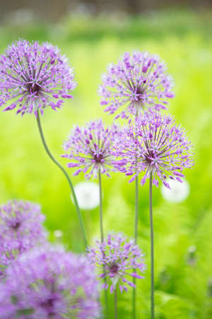 The Allium flower is in full bloom. Summer photo of a beautiful flower Reklamní fotografie