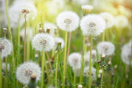 Meadow Of Dandelions to Make Dandelion Wine. Sunset or Sunrise
