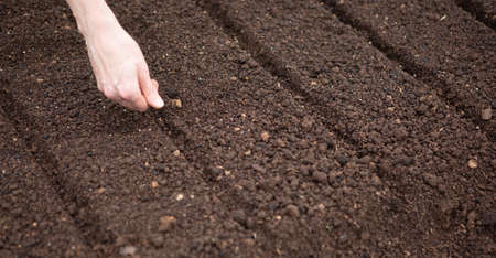 Spring planting of seeds in a freshly cut bed. A woman plants seeds