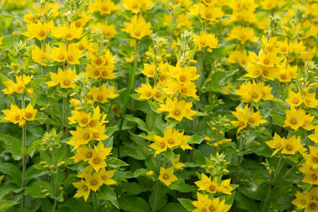 Garden yellow loosestrife. Beautiful yellow flowers closeup.Summer Flowering Bright Yellow Common or Garden Loosestrife , Lysimachia vulgaris, Growing in a Meadow in a Garden, park. Floral background