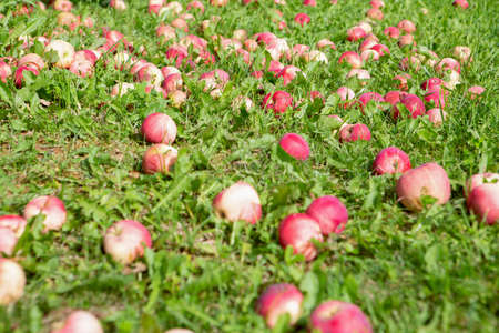 Fallen red apples on a Sunny lawn next to an Apple tree