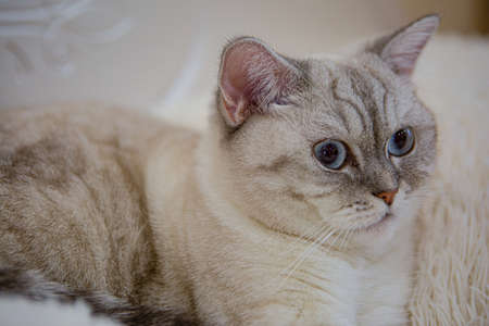 Close-up view of a grey striped British cat with blue eyes. Pets and lifestyle concept. A beautiful fluffy cat is lying on a soft Mat.