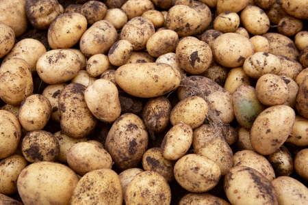 large pile of freshly dug potatoes during harvest