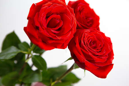 Bright red roses on a white isolated background. A gift to women on the occasion